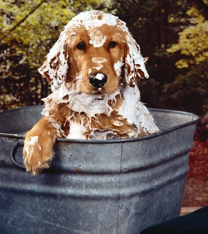 周岁之内的狗狗可以经常洗澡吗_提倡定期给狗狗洗澡可以洗去身上的灰尘,臭味,防止外来细菌,病毒或