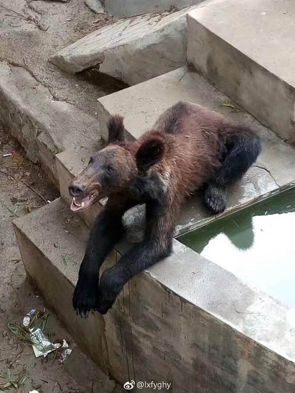 新乡动物园棕熊瘦骨嶙峋引被虐质疑 园方称熊健康 - 梅思特 - 你拥有很多,而我,只有你。。。