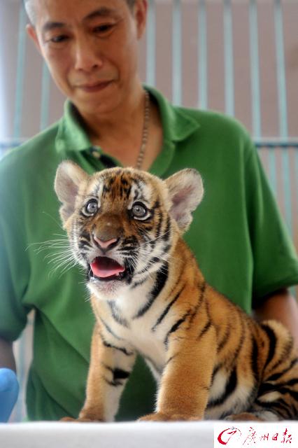 时隔15年,广州动物园再有华南虎诞生!