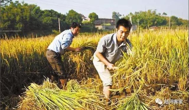 """割稻谷时的图片。_汕尾 陆河人""""吃新米""""习俗"""