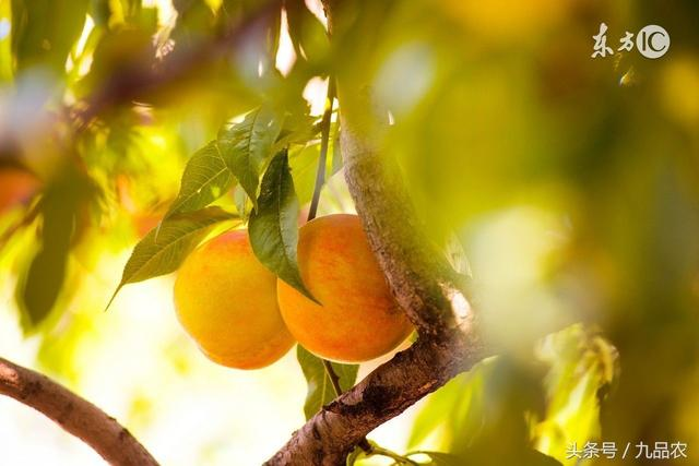 为什么黄桃适合做水果罐头?