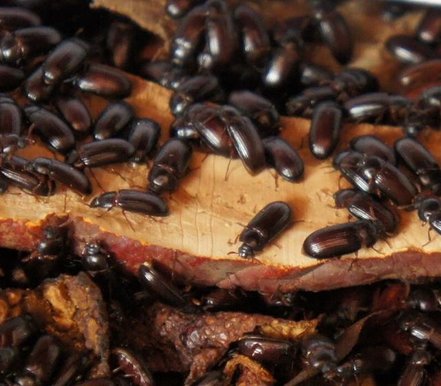 增强免疫力的昆虫 九龙虫 洋虫是不是属于药用昆虫