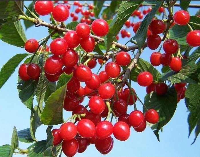 采果后的甜樱桃树的技术管理十分重要,因为此时树体经前期的展叶、图片