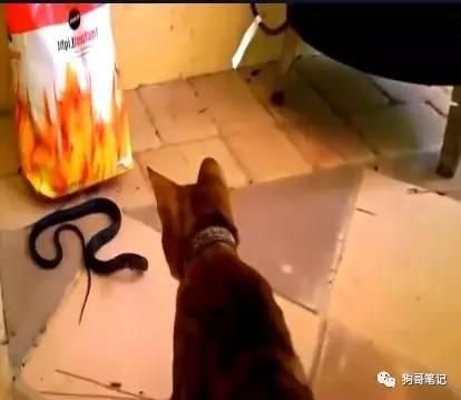 家里来了条蛇,勇敢的猫咪为了保护家人挺身而出
