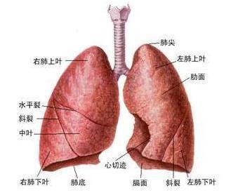 与肺部的解剖结构有关系