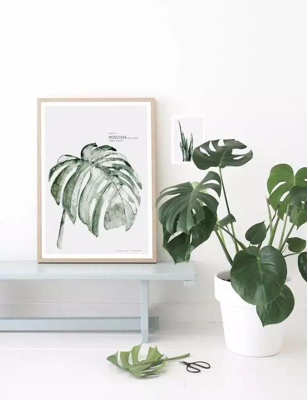 橡皮树:叶片宽大有光泽,四季常绿,与颜色偏深沉的北欧日式家具比较