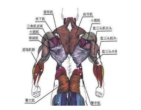 健康 正文  先来看一下背部的肌群.