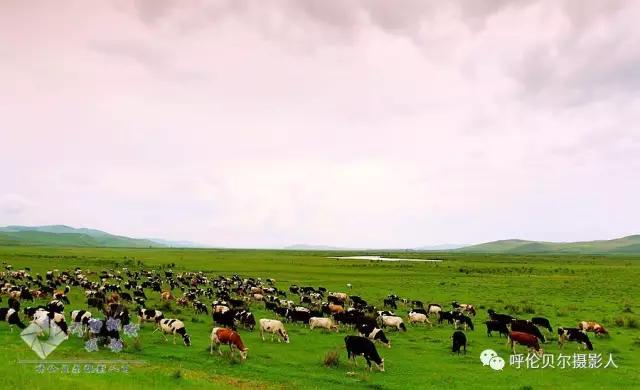 七月呼伦贝尔休闲摄影自由行经典创作行程 - 宁静枫林 - 呼伦贝尔长城摄影旅游俱乐部