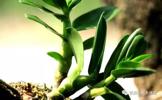 铁皮石斛的种植方法图片