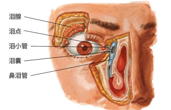 眼部解剖结构图-为什么老是说 哭鼻子 因为人就是用鼻子哭的