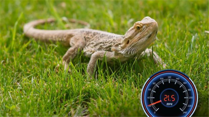 最快的爬行动物:刺尾飞蜥(栉尾蜥属)是记录中速度最快的爬行动物.