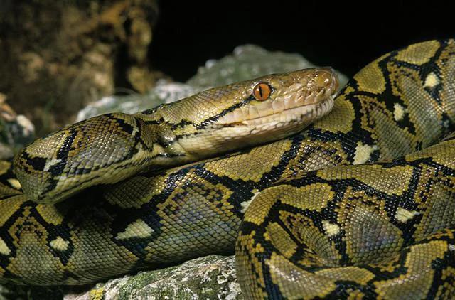 由于大蟒蛇被捕捉后常常被剥皮,因此在过去三年里,研究人员检查了大约