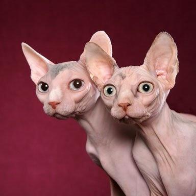 最聪明的猫_让人闻风丧胆的猫瘟,到底有没有救的可能