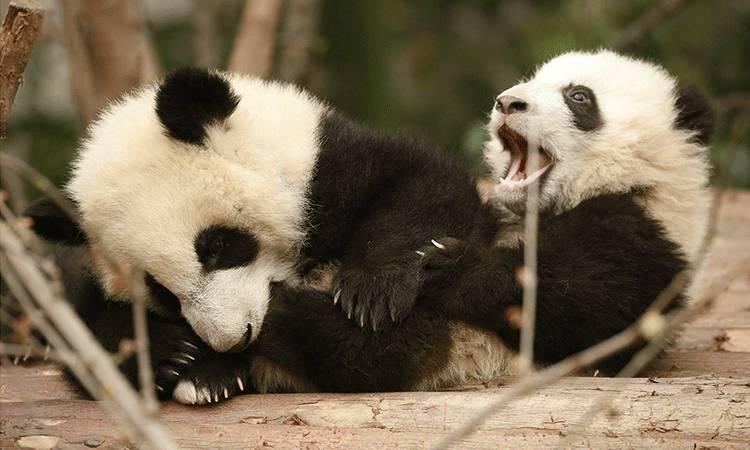 每年排队向国内租借大熊猫的国外动物园络绎不绝 想要取得资格得先
