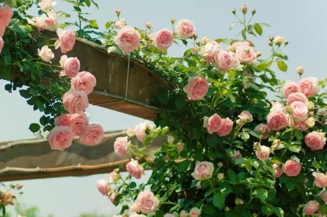 蔷薇三姐妹 玫瑰 月季 蔷薇的辨识