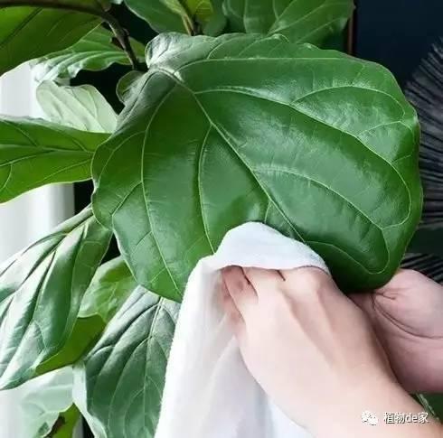 脸盆那么大叶子的琴叶榕盆栽,好养易活,比绿萝漂亮图片