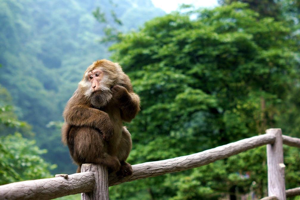 猴子_与群猴玩耍,给猴子喂食,观赏其千姿百态,了解其生活习性,跟它们亲密