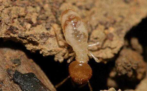 白蚁对人类的危害及防治方法详解图片