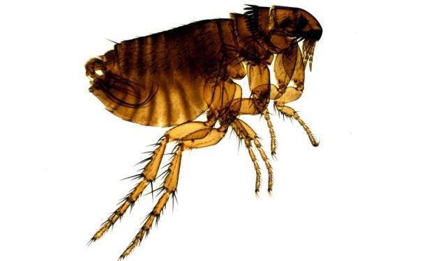 跳蚤为属于蚤目的完全变态类节肢动物.