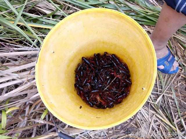 几鼓包在芦苇荡里,用个人钓了足足3斤野生小年糕烤猪肝龙虾图片