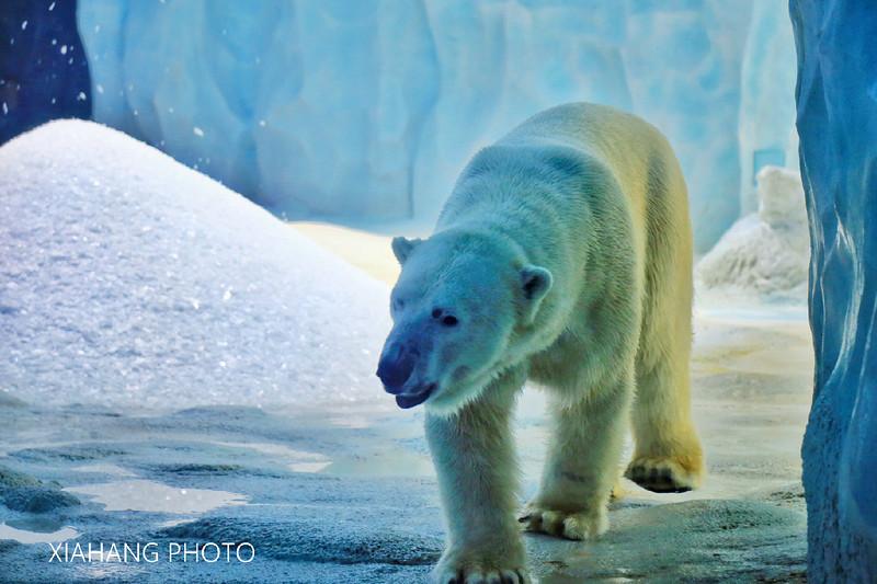 北极熊是世界上最大的陆地食肉动物,又名白熊.