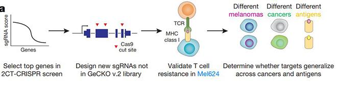 CRISPR逐个筛查基因组找到癌症免疫治疗必需基因