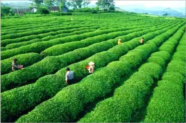 古丈县是著名歌唱家宋祖英的家乡,这里人杰地灵,风景优美,物产丰富.