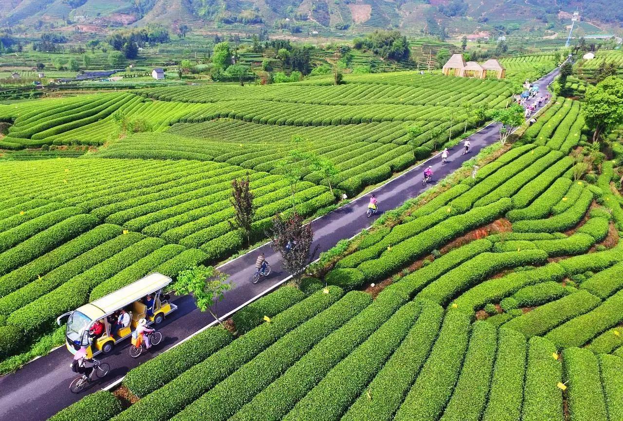 旅游 正文     丽水松阳 · 大木山骑行茶园   中国最大的骑行茶园