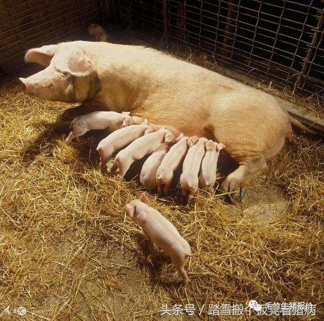 母猪多发产前产后不食,养猪人总结治疗方案