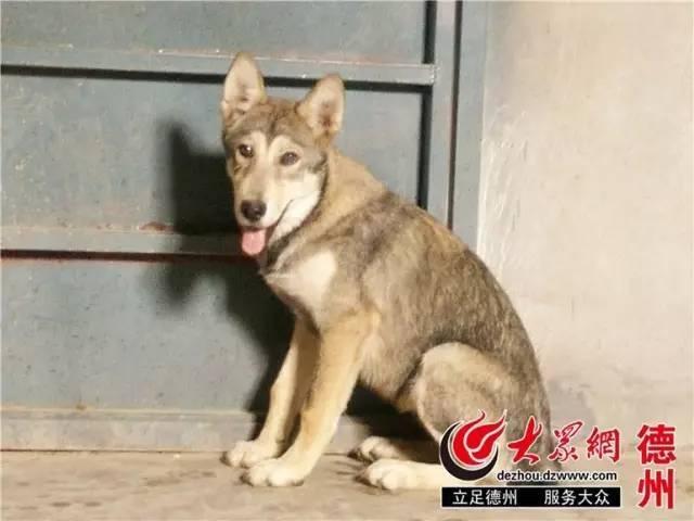傻狗有傻福!德州动物园里混入狼群的那只哈士奇,娶了头母狼还当了爹.