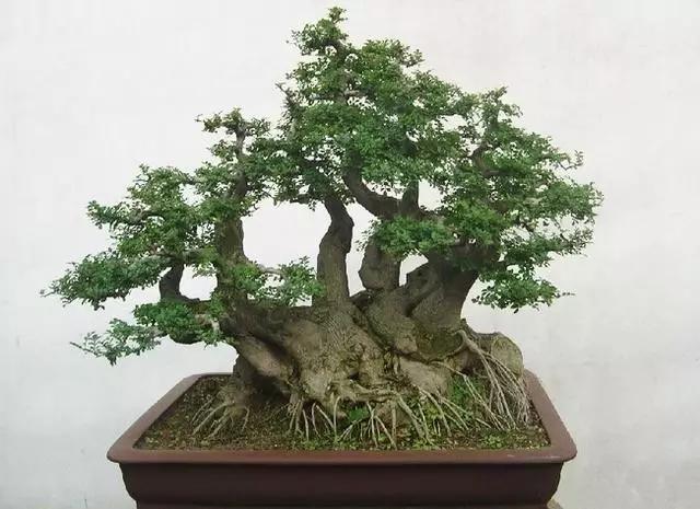 对节白蜡树真正称得上是 盆景之王
