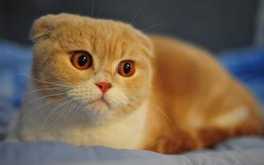 貓咪耳朵里耳屎特別多,怎么辦?