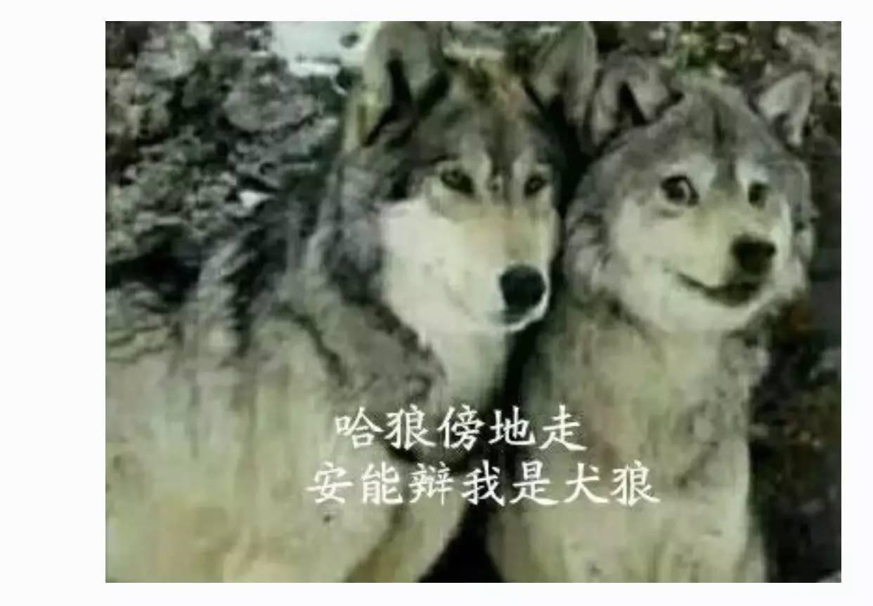 二哈和狼在一起的图片
