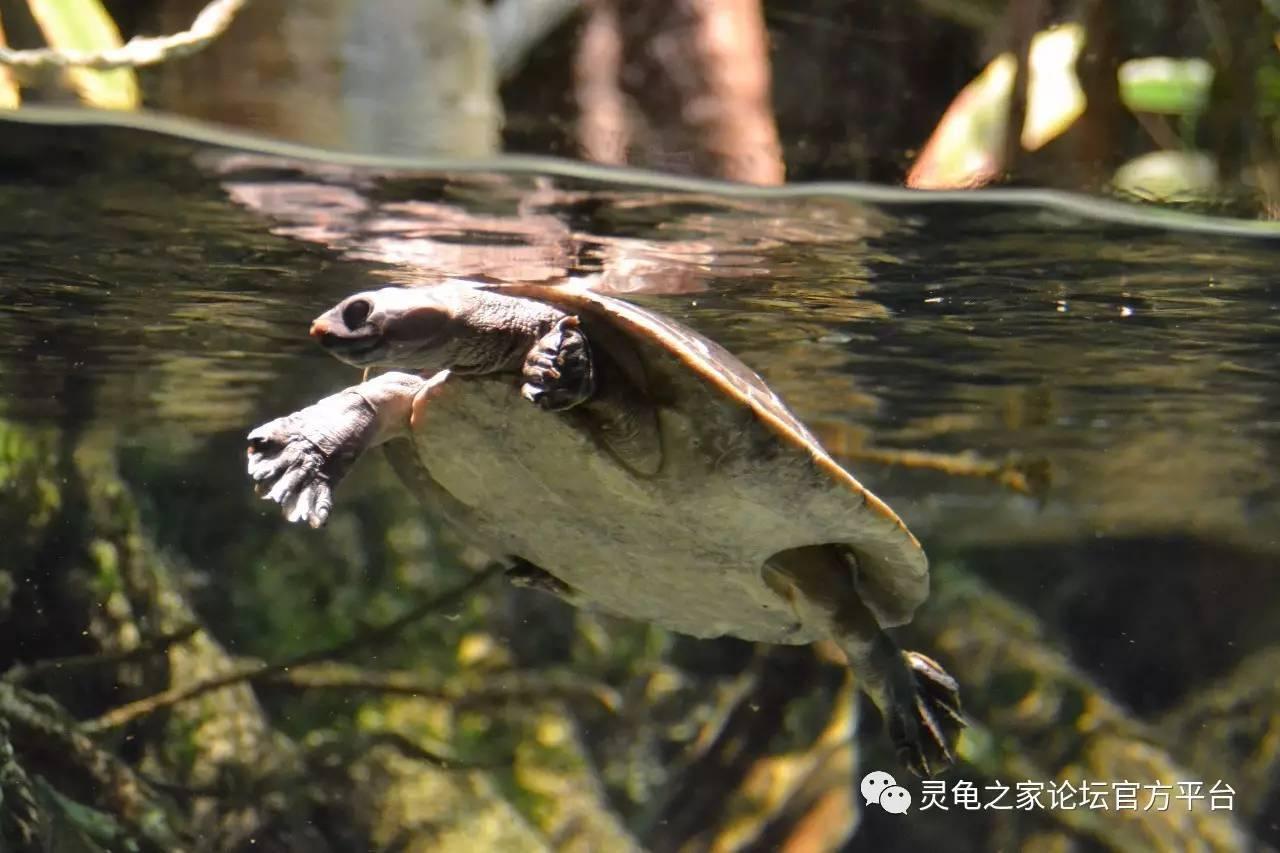 花面蟾头龟与北部花面蟾头龟 希拉里的升级版