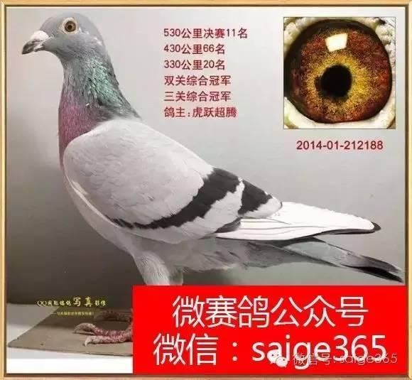 鸟类鸽乌龟教学图示鸟鸽子580_535动物腐皮腐甲后遗症图片