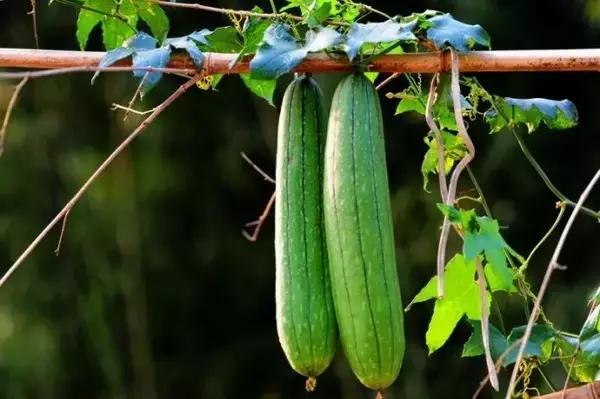 江苏快3网上购买秋后吃三瓜,_虫草都不如它!_关键还便宜,_错过就太可惜了