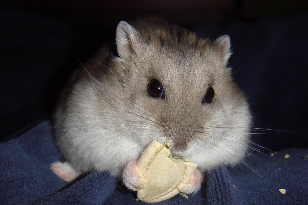 仓鼠吃蔬菜吗_养过仓鼠吗?你知道仓鼠是要洗澡的吗?