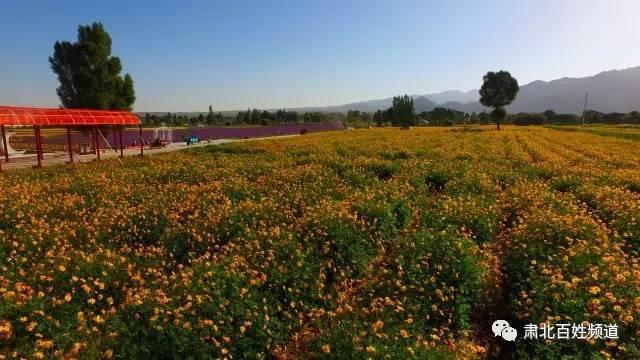 酒泉市肃北县建千亩花海呈戈壁美景   高空视角更震撼