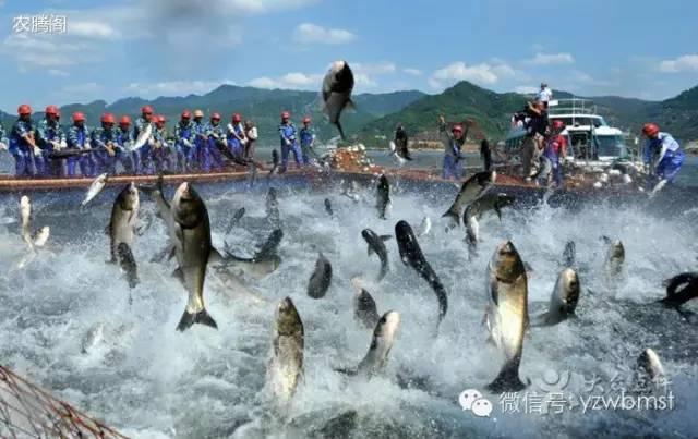 每年春季,千岛湖岸边松树开花,大量松花粉飘落湖中,成为鱼儿的滋补品
