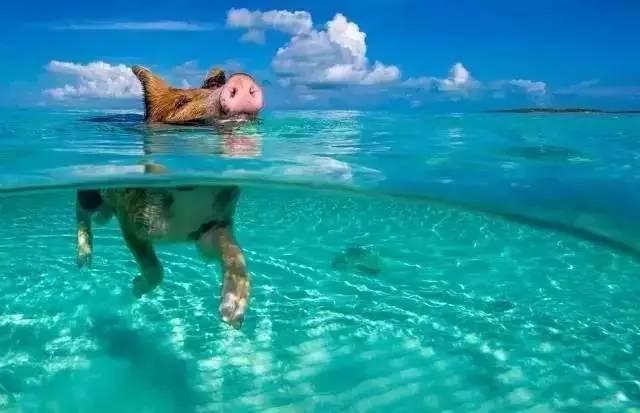 这座迷人的海岛有在海里游泳的猪,神奇的粉色沙滩,还免签!图片