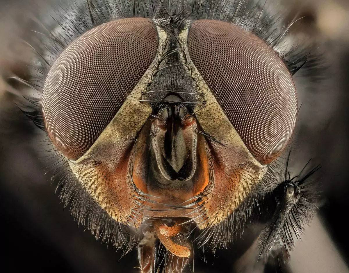 人皮蝇感染的图片