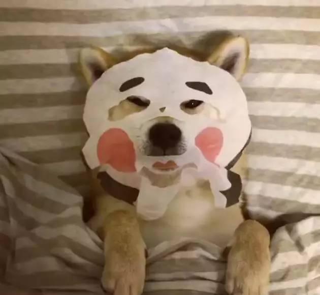 狗狗睡前敷面膜,萌哭你!图片