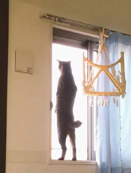 网友拍到自家猫站着看窗外的背影,瞬间被它给帅到了,感受下.