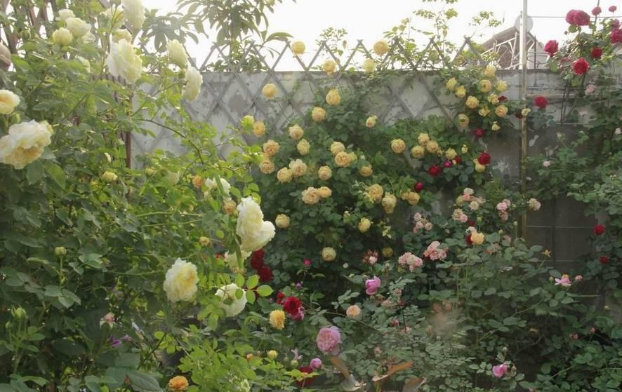 这些超美爬墙植物,随便种1棵都会美到爆