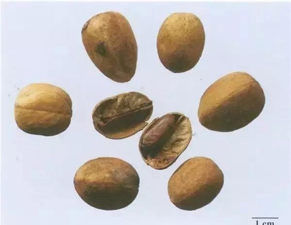 中药巴豆的作用_每天最少学一味中药—巴豆