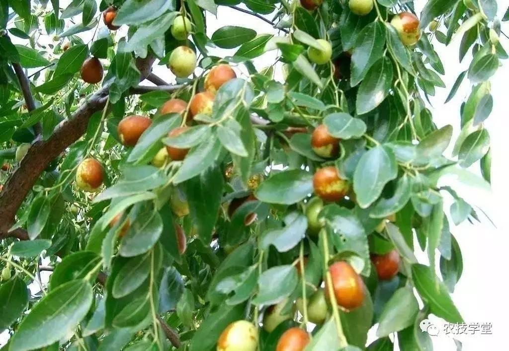 梦见枣树摘枣吃