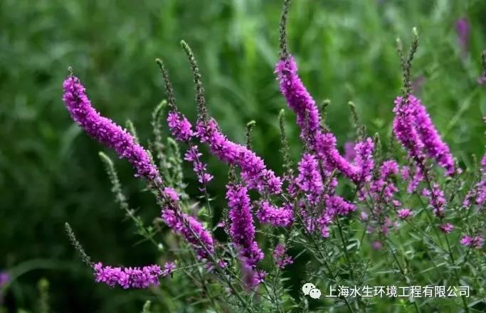 ##:水生植物介绍:千屈菜