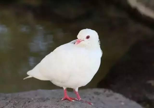 一只鸽子告诉你,什么叫珍惜(说的真好) - 高山流水 - 高山流水