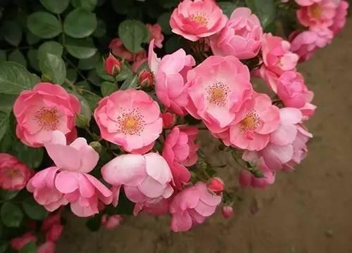 月季花这样剪美翻了|月季栽培种植-南阳天润月季有限公司