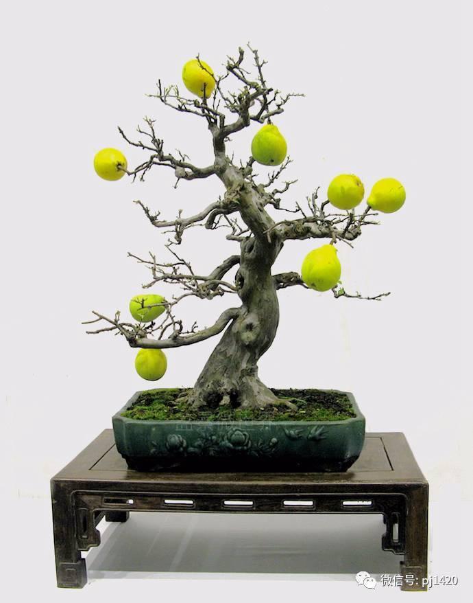 精品木瓜盆景图片欣赏